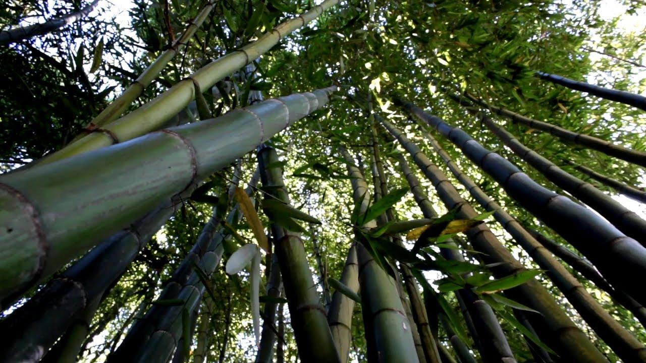 Иллюстрация на тему Загадочная долина чёрного бамбука в Хэйчжу, Китай